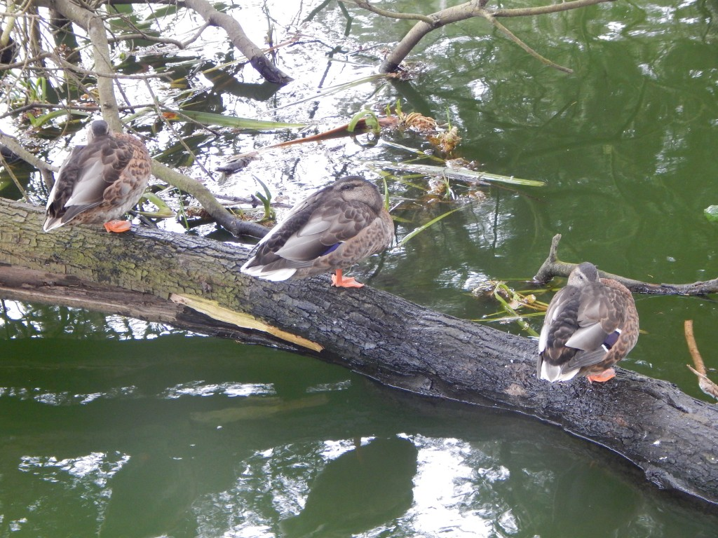 sleeping ducks at stow lake, golden gate park san francisco